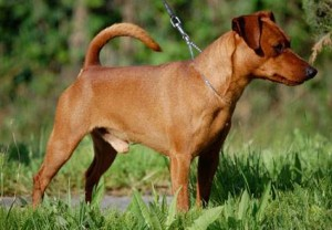pinscher-nano-adulto_O1